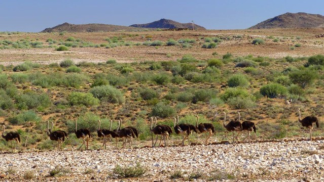 Ostriches and Springbok at Fish River Canyon, Namibia