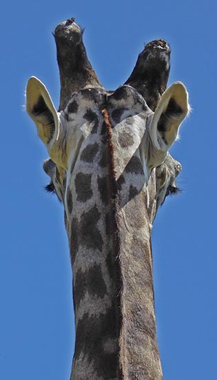 Back of giraffe's head, Africa