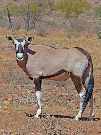 Gemsbok in light of day.