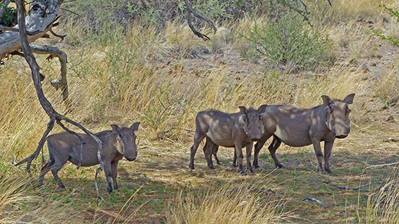 Warthogs at Hardap Game Reserve, Namibia