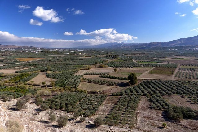 Olive trees on the countryside 2, Crete, Greece - Jen Funk Weber