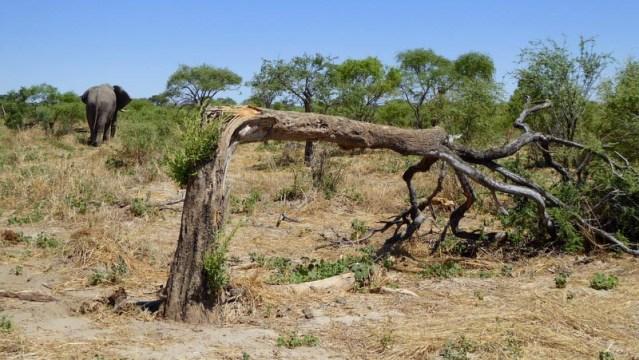 African elephant and broken tree, Botswana