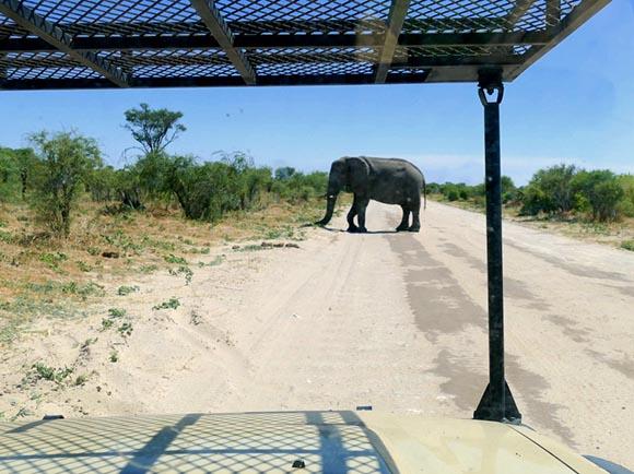 African elephant crossing sand road, Botswana