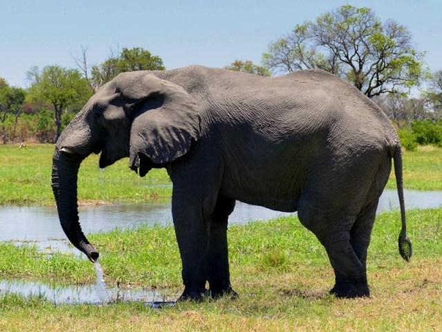 Elephant drinking at the Khwai River