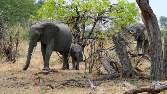 Elephant cows and calf, South Gate Road, Botswana