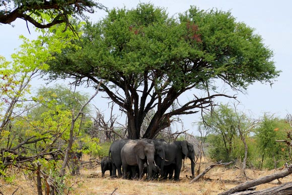 Elephants under a tree, South Gate Road, Botswana