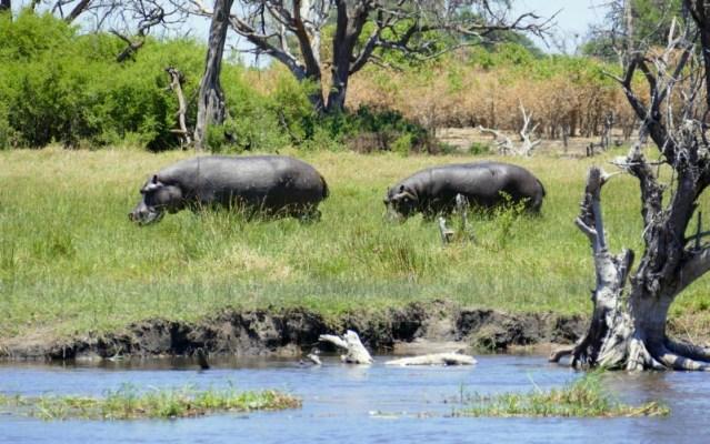 Two hippos traversing land, Khwai River, Botswana