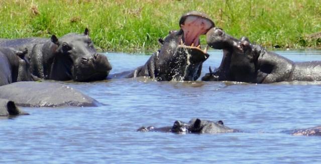 Hippos sparring, Khwai River, Botswana