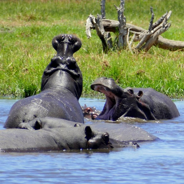 Open-mouthed hippos, Khwai River, Botswana
