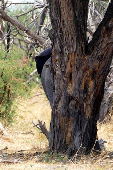 How to hide an elephant, South Gate Road, Botswana