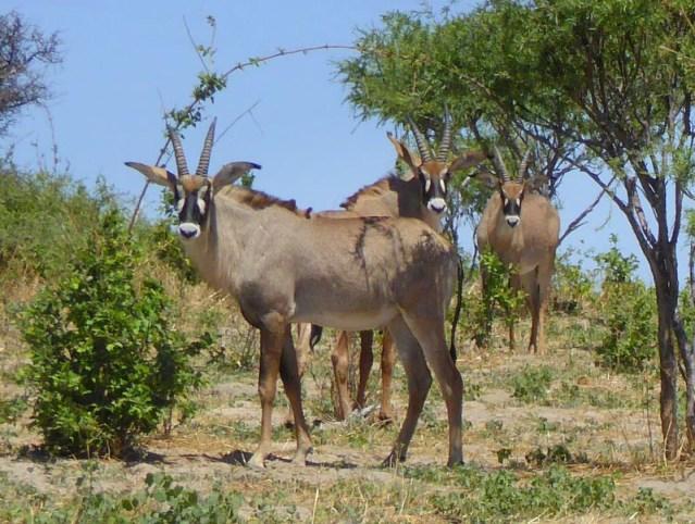 Roan antelope, Botswana