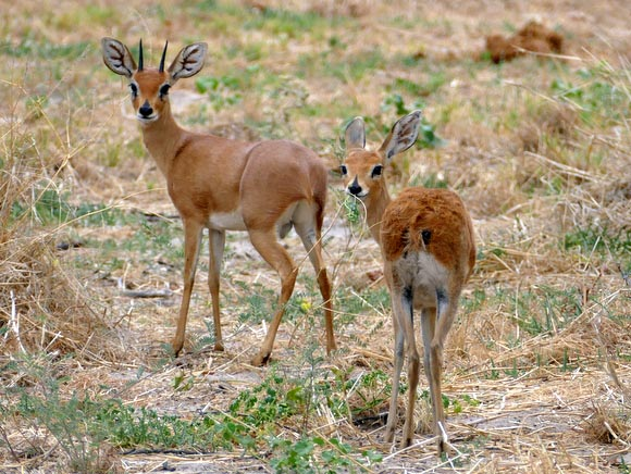 Steenbok male and female, South Gate Road, Botswana