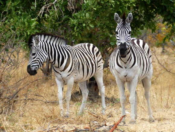 Zebras, South Gate Road, Botswana