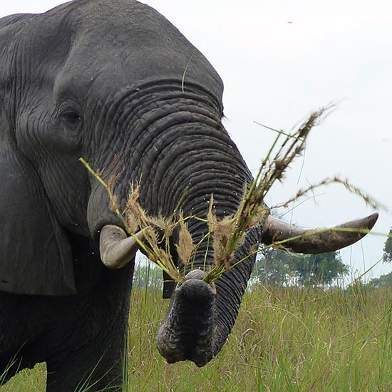 Elephant swinging grass before eating, Boro River, Okavango Delta, Botswana