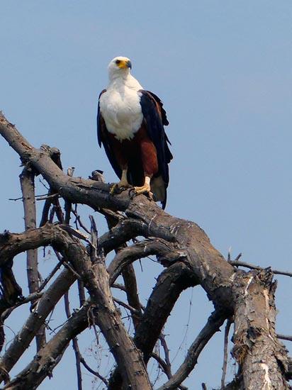 Fish eagle, Boro River, Okavango Delta, Botswana