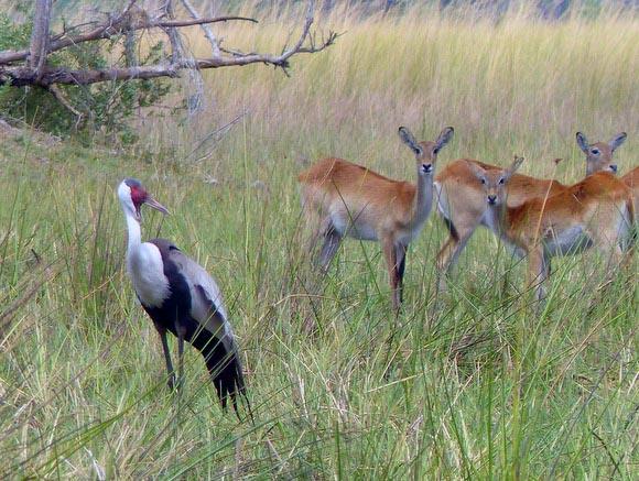 Wattled crane and lechwe, Boro River, Okavango Delta, Botswana