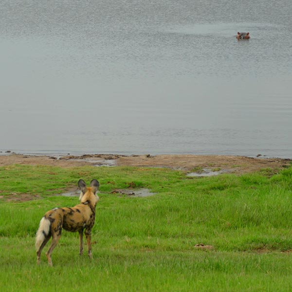 African wild dog vs hippo, Chobe National Park, Botswana