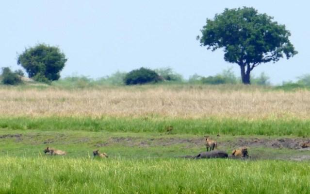 Lions on elephant kill, Chobe riverfront, Botswana