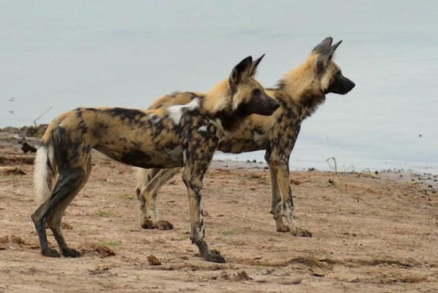 Pretty painted dog, Chobe National Park, Botswana