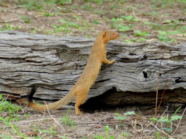Slender mongoose, Chobe National Park, Botswana