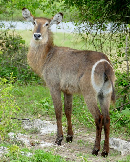 Waterbuck, female, Chobe National Park, Botswana
