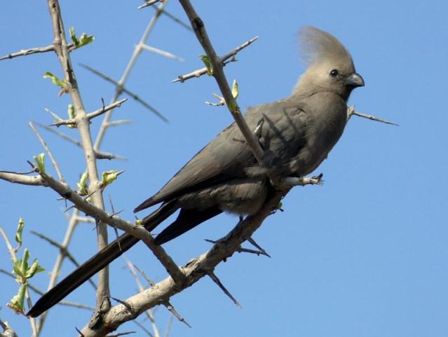 Go-away bird, Mahango, Bwabwata National Park, Namibia