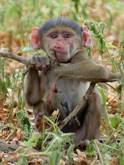 Baboon baby, Africa
