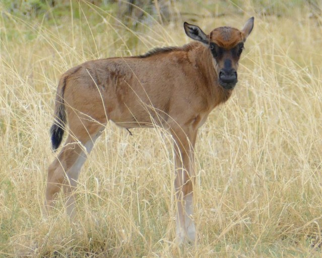 Wildebeest baby, Africa