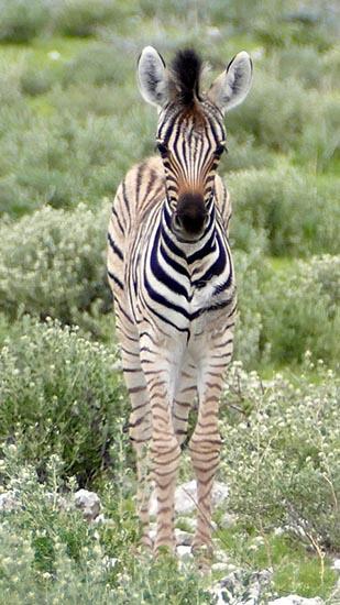 Zebra foal, Africa