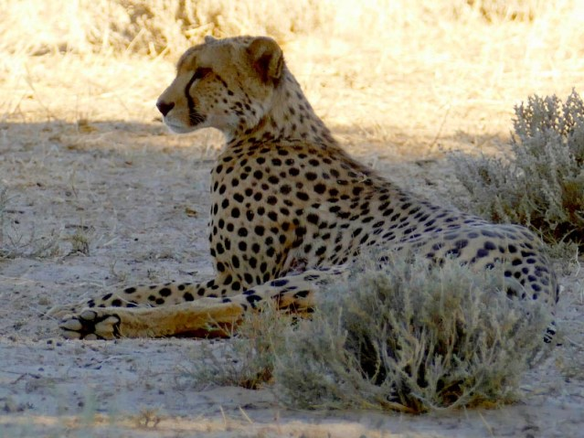 Alert cheetah, Kgalagadi Transfrontier Park, photo by Mike Weber