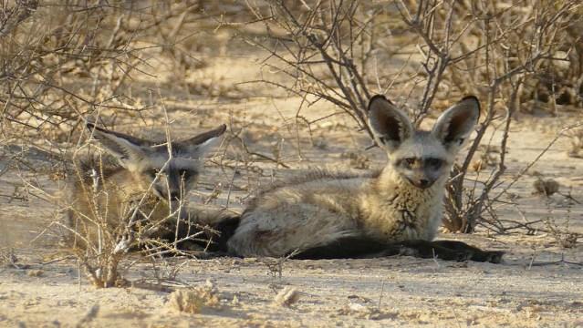 Bat-eared fox pair, Kgalagadi Transfrontier Park, photo by Mike Weber