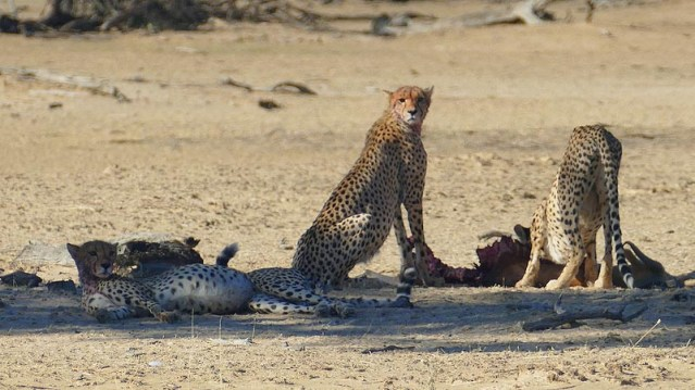 Cheetah with full stomach lying down, Kgalagadi Transfrontier Park, photo by Mike Weber