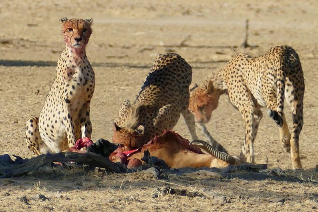 Cheetahs with full stomachs, Kgalagadi Transfrontier Park, photo by Mike Weber