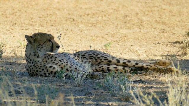 Classic cheetah lounging position, Kgalagadi Transfrontier Park, photo by Mike Weber