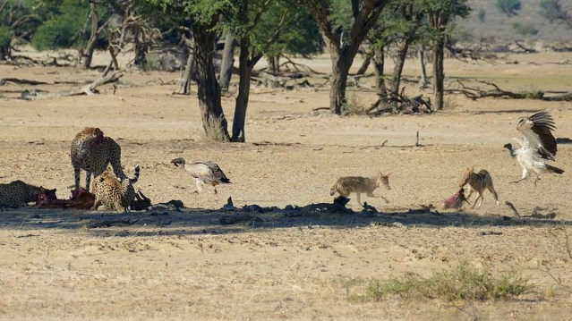 Jackals and vultures fighting for springbok entrails, Kgalagadi Transfrontier Park, photo by Mike Weber