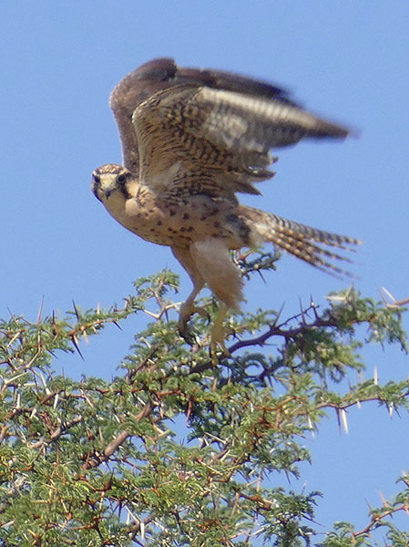 Juvenile Lanner falcon, Kgalagadi Transfrontier Park, photo by Mike Weber