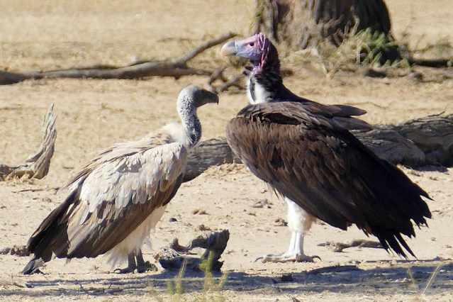 Lappetfaced vulture and whitebacked vulture, Kgalagadi Transfrontier Park, photo by Mike Weber