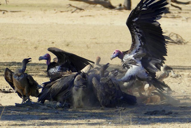Lappetfaced vulture attacking whitebacked vultures on springbok kill, Kgalagadi Transfrontier Park, photo by Mike Weber