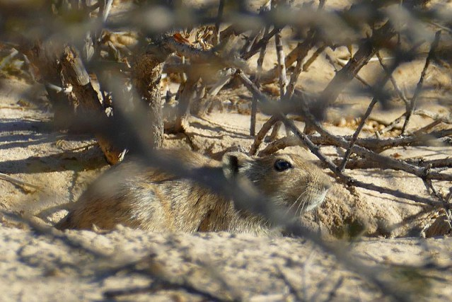 Whistling rat, Kgalagadi Transfrontier Park, photo by Mike Weber