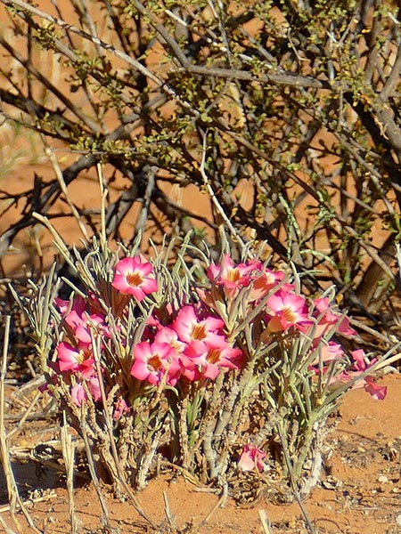 As yet unidentified desert flower, Kgalagadi Transfrontier Park, photo by Mike Weber
