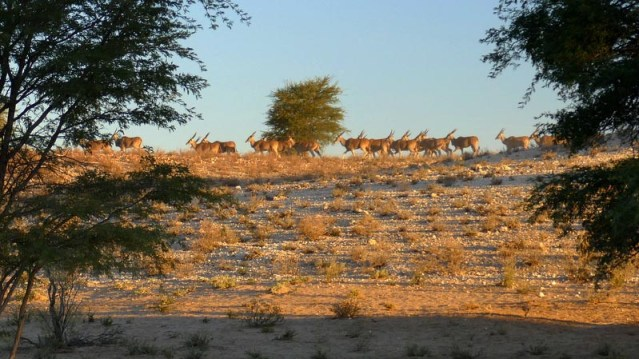 Eland herd, Kgalagadi Transfrontier Park, photo by Mike Weber
