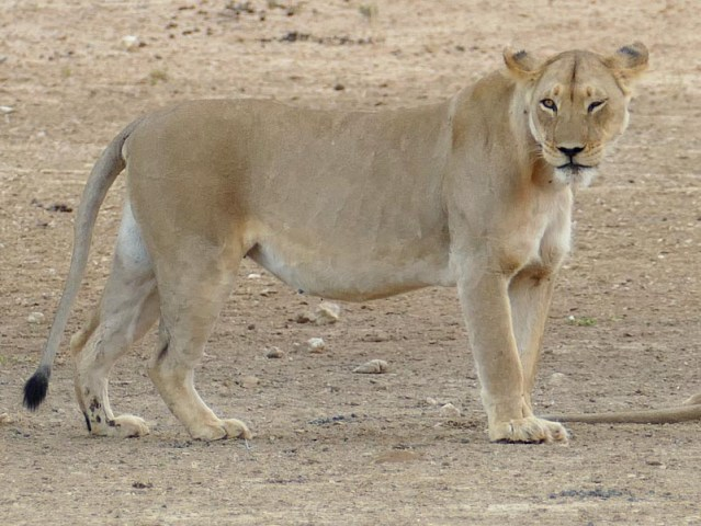 Lioness - Kgalagadi Transfrontier Park, photo by Mike Weber