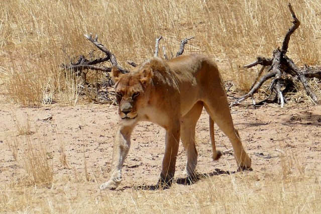 Lioness heading to waterhole, Kgalagadi Transfrontier Park, photo by Mike Weber, Jen Funk Weber