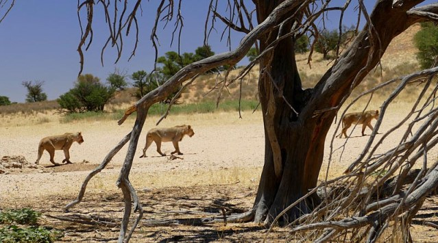 Lions return to shade after drinking, Kgalagadi Transfrontier Park, photo by Mike Weber, Jen Funk Weber