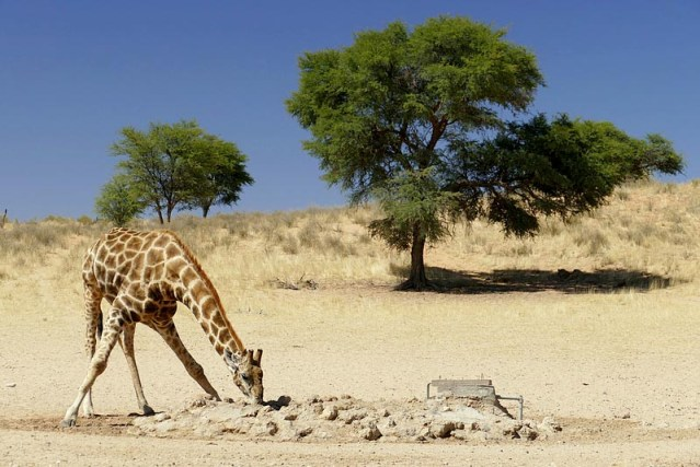 Lone giraffe drinking while lions watch, Kgalagadi Transfrontier Park, photo by Mike Weber, Jen Funk Weber