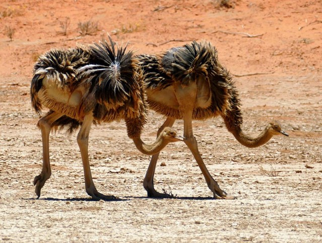 Young ostriches, Kgalagadi Transfrontier Park, photo by Mike Weber