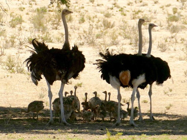 Ostriches with chicks, Kgalagadi Transfrontier Park, photo by Mike Weber