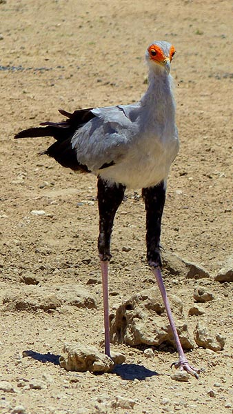Secretary bird, Kgalagadi Transfrontier Park, photo by Mike Weber