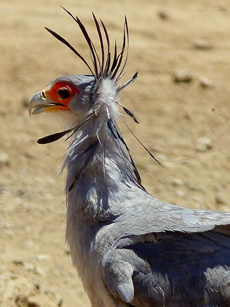 Secretary bird head feathers, Kgalagadi Transfrontier Park, photo by Mike Weber