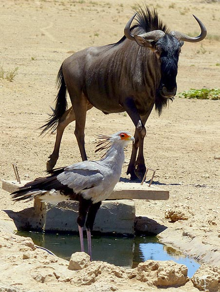 Wildebeest and secretary bird, Kgalagadi Transfrontier Park, photo by Mike Weber